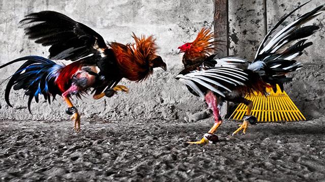 Mengenal Tips Bermain Judi Sabung Ayam Online