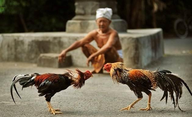 Bandar Judi Sabung Ayam Bonus Paling Besar