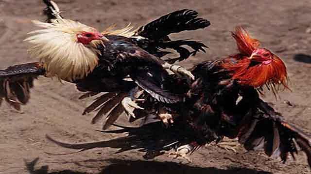 Bonus Judi Sabung Ayam Online Beruntun