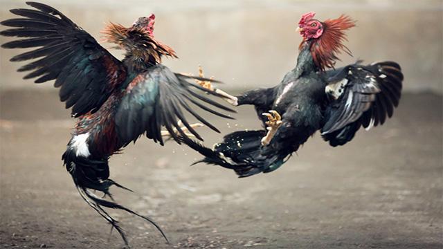 Judi S128 Sabung Ayam Online Termurah
